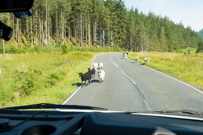 Lo habitual en Escocia, más animales que coches en la carretera