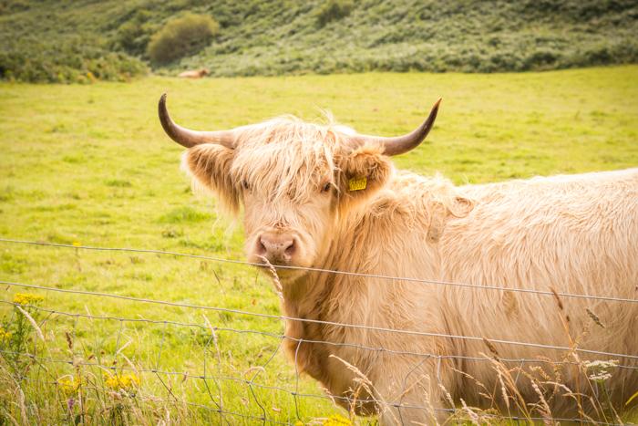 Típica vaca de las Highlands