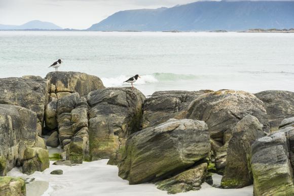 Pájaros ostreros en la playa Vinge