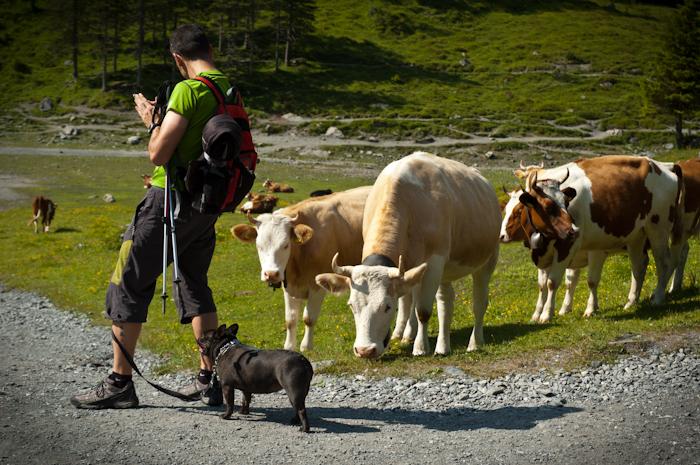 Las vacas siempre se acercan a Max a olerla, siente curiosidad, y ¡en Suiza no fue diferente!