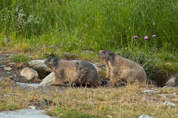 Las marmotas de Saas Fee