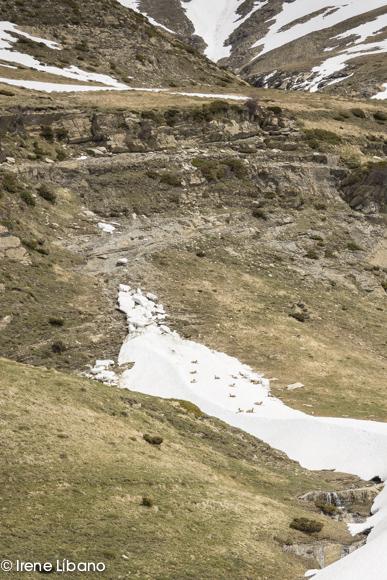 Los rebecos descansando en la nieve